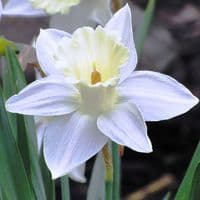 Ready Potted 1 Litre Pot   MOUNT HOOD WHITE TRUMPET DAFFODIL